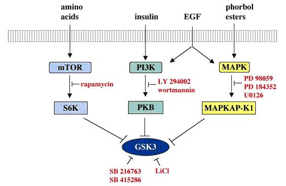 File:Ways to inhibit gsk3.jpg