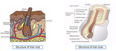 Structure of Hair root and Hair bulb